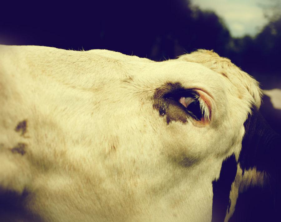 hong-kong-mucca-al-mattatoio-si-inginocchia-e-piange-i-macellai-si-rifiutano-di-ucciderla 1