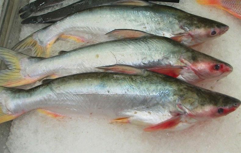 il-pangasio-potrebbe-scomparire-da-mense-e-supermercati-le-acque-in-cui-viene-allevato-sono-inquinate